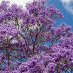 花見@メキシコはムラサキ色!ジャカランダが咲き乱れる春の絶景