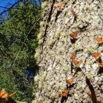 【行き方・おすすめ保護区】アンガンゲオの「幻の蝶」役立ち情報