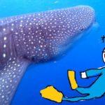 夏のカンクンには、信じられない数のジンベイザメがやってくる!!