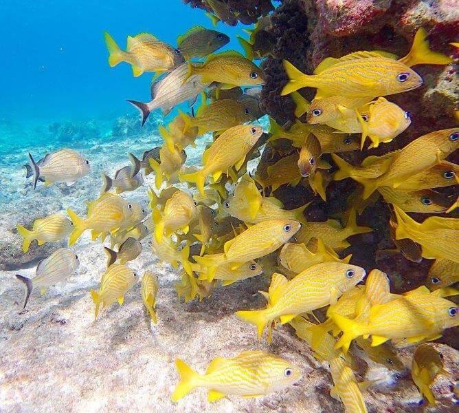 カリブ海の黄色いお魚たち